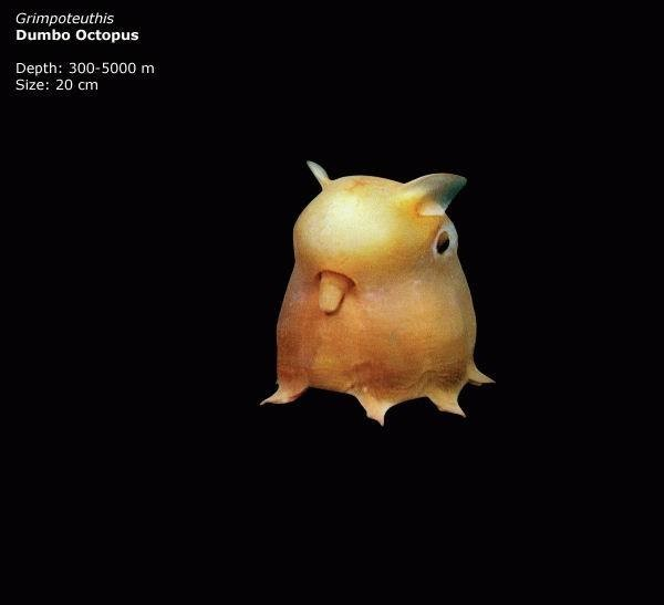Mariana-Trench-Dumbo-Octopus