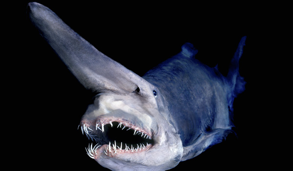 Mariana-Trench-Goblin-Shark