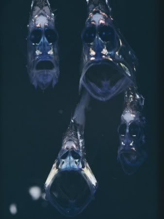 Mariana Trench HatchetFish