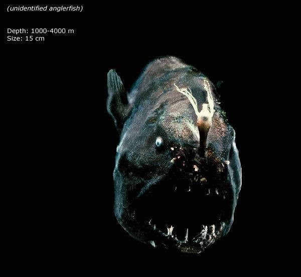 Mariana Trench Unidentified Anglerfish