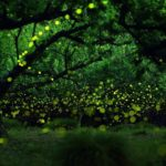 Fireflies in the Forests of Nagoya City by Yume Cyan