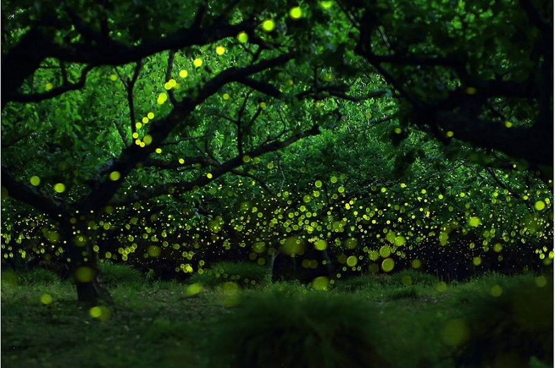 Fairies Forest Firefly - Yume Cyan