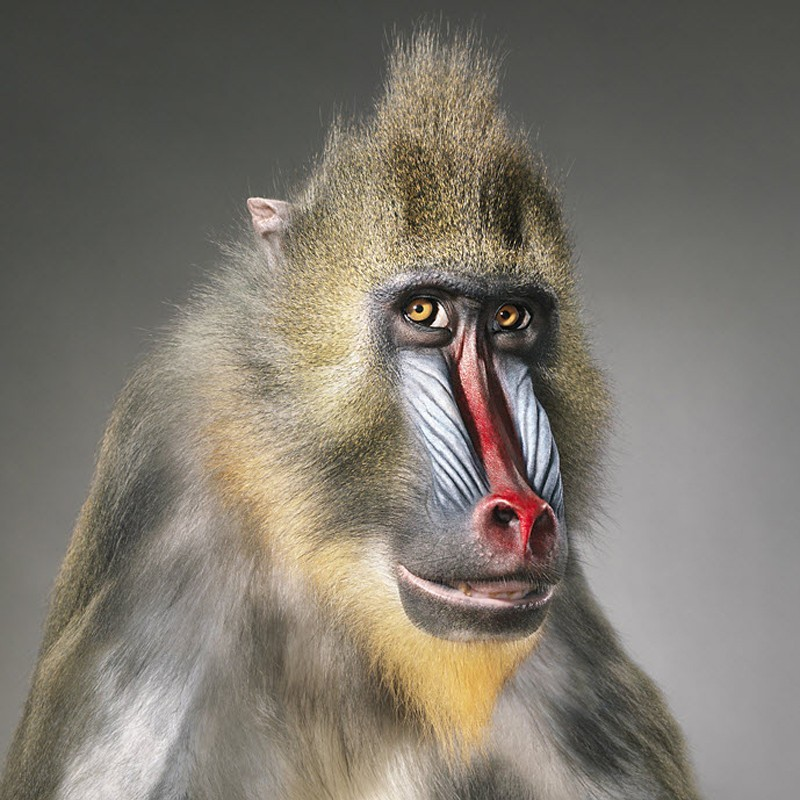 More than human Baboon Tim Flach