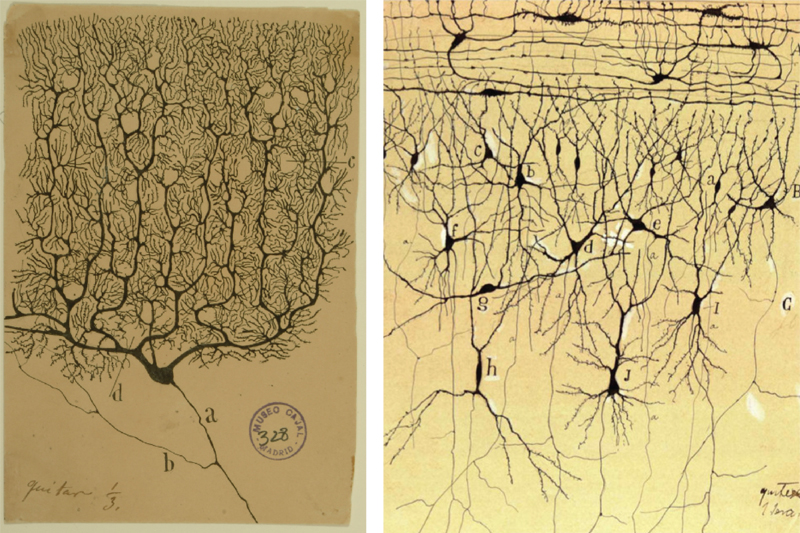 Santiago Ramon y Cajal Drawings