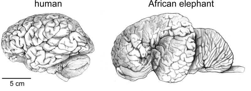human and elephant brain